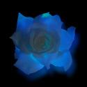 Rose_blmida